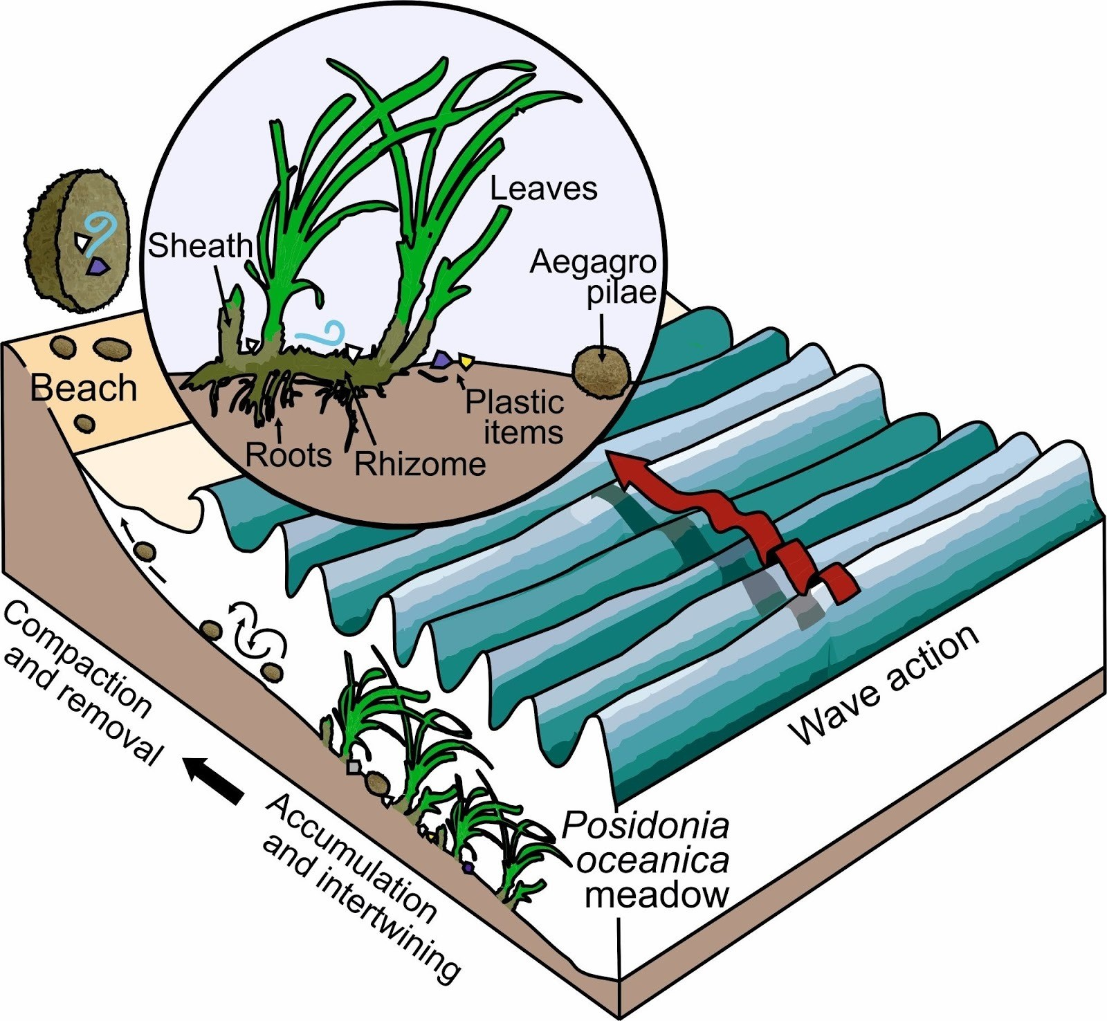 A diagram to show how bundles of seagrass fibre trap and remove plastic particles from the sea
