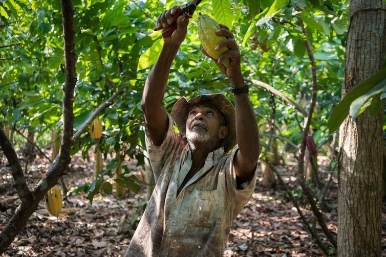 February 23, 2015: Isla de la Amargura, Caceres, Antioquia (Colombia). Jose Blanquiceth harvests cocoa on his farm.