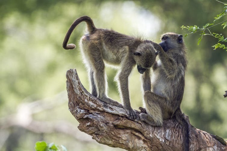 Chacma baboons like these may struggle to survive in the next few decades.
