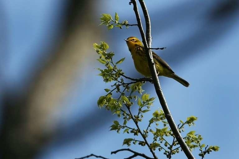 Une paruline des prés, l'une des nombreuses espèces d'oiseaux en déclin en Amérique du Nord, à New York le 7 mai 2014.
