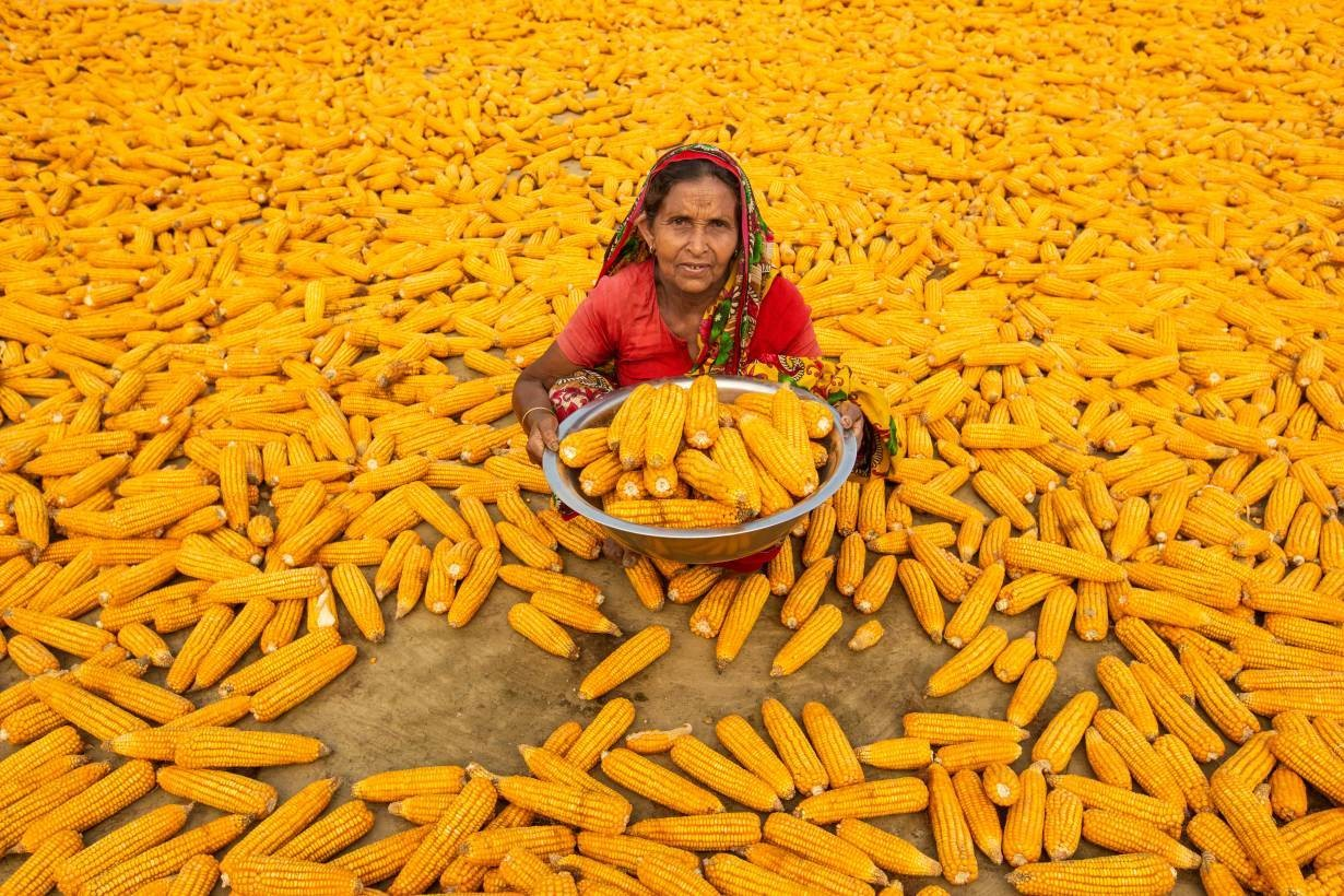 image of Bulbuli Begum working in the maize fields at Lalmonirhat, northern Bangladesh