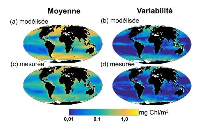 Concentration en chlorophylle simulée par le modèle (en haut) et observée via satellite par le projet OC-CCI (en bas). La concentration moyenne (à gauche) et la variabilité (écart-type, à droite) simulées sont très proches des observations.