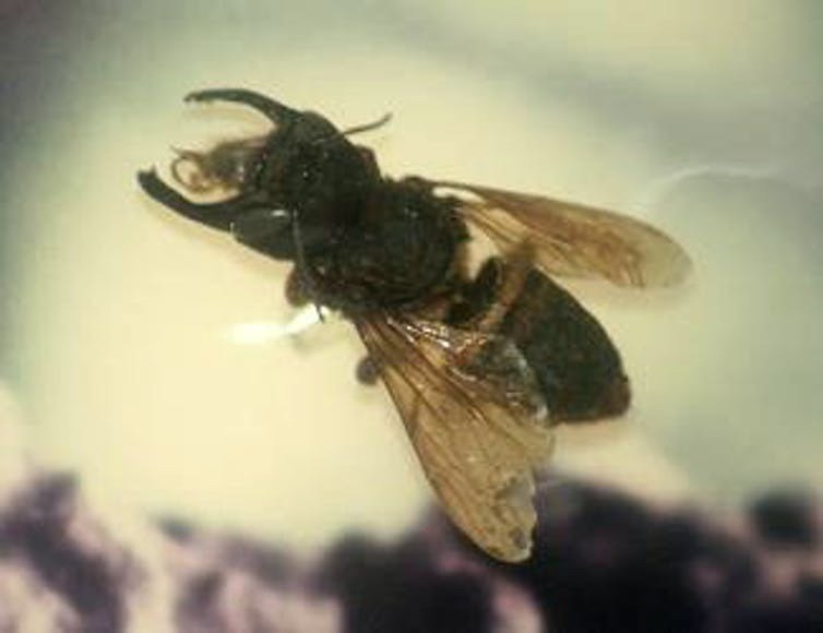 The world's largest bee was presumed extinct before rediscovery in Indonesia in February 2019.