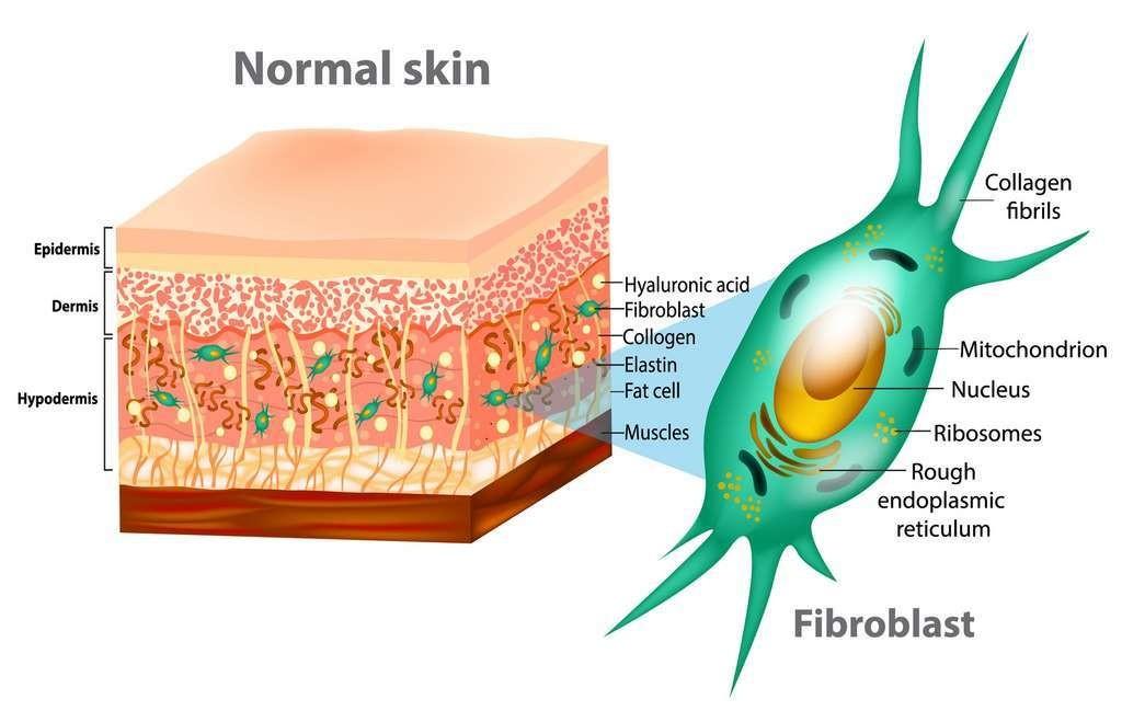 La peau comprend plusieurs couches, avec l'épiderme à l'extérieur, composé essentiellement de kératinocytes.