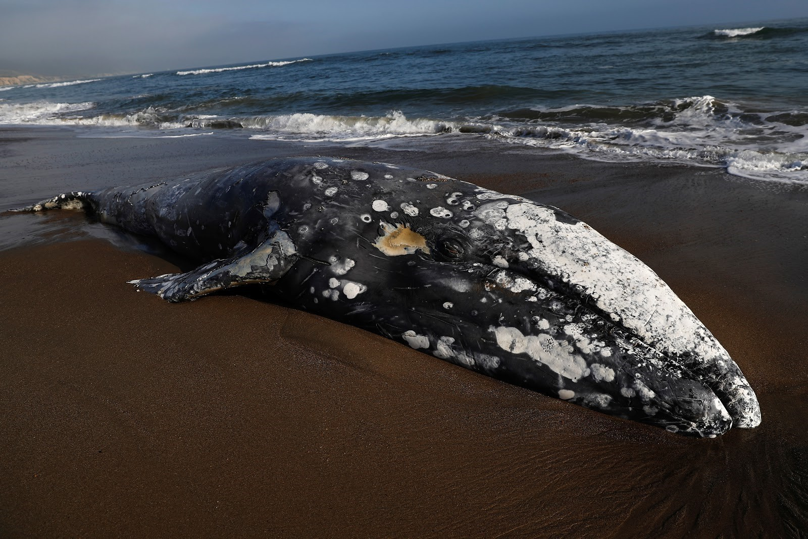 A gray whale is beached on the Californian coastline in May 2019.