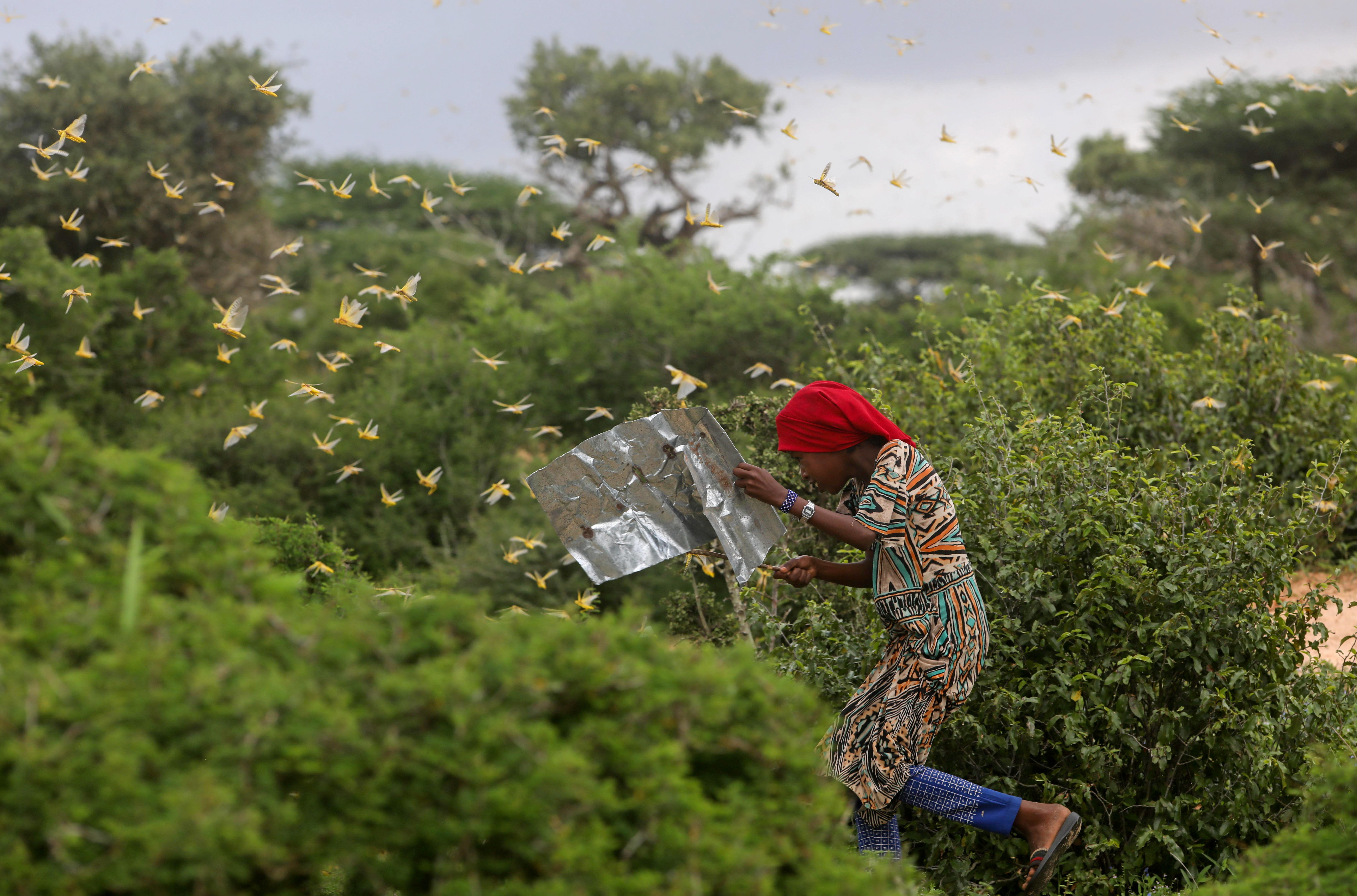 A Somali girl attempts to fend-off a swarm of desert locusts in a grazing land on the outskirt of Daynile district of Mogadishu, Somalia November 13, 2020 REUTERS/Feisal Omar - RC2K2K9RK0XT