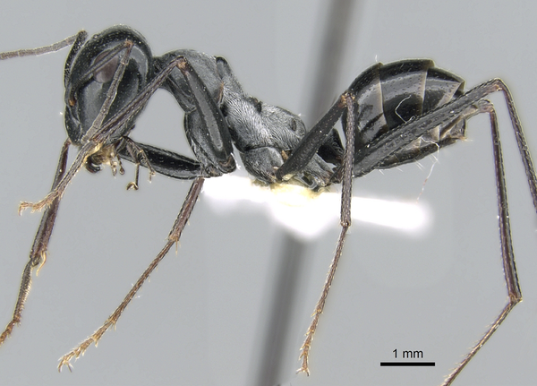 Cataglyphis fortis, fourmi vivant principalement dans le désert du Sahara.