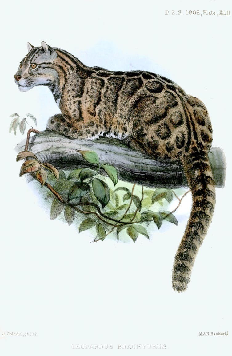 The Formosan clouded leopard is endemic to Taiwan and considered extinct, but eyewitness accounts keep speculation alive.