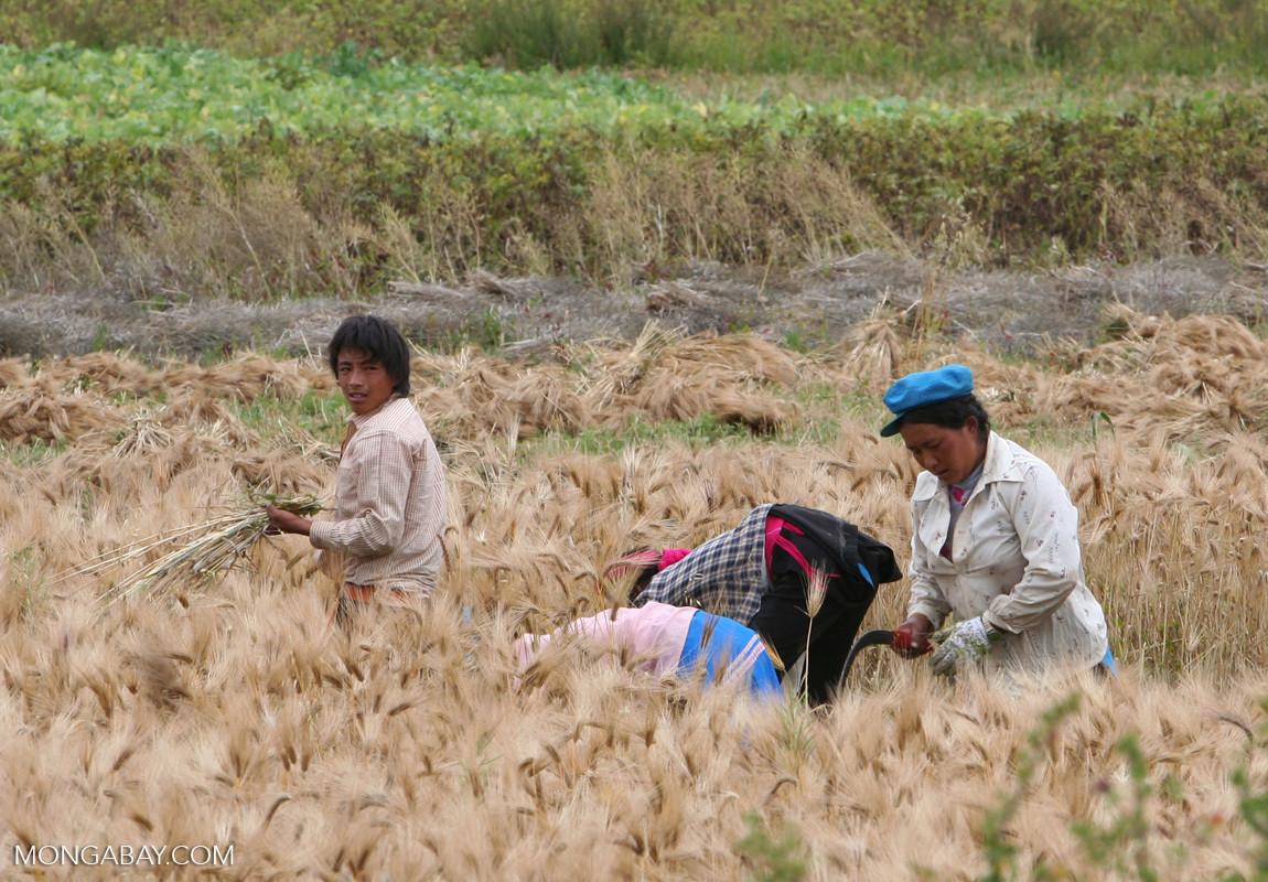 image of Tibetans working in wheat field in Northwestern Yunnan
