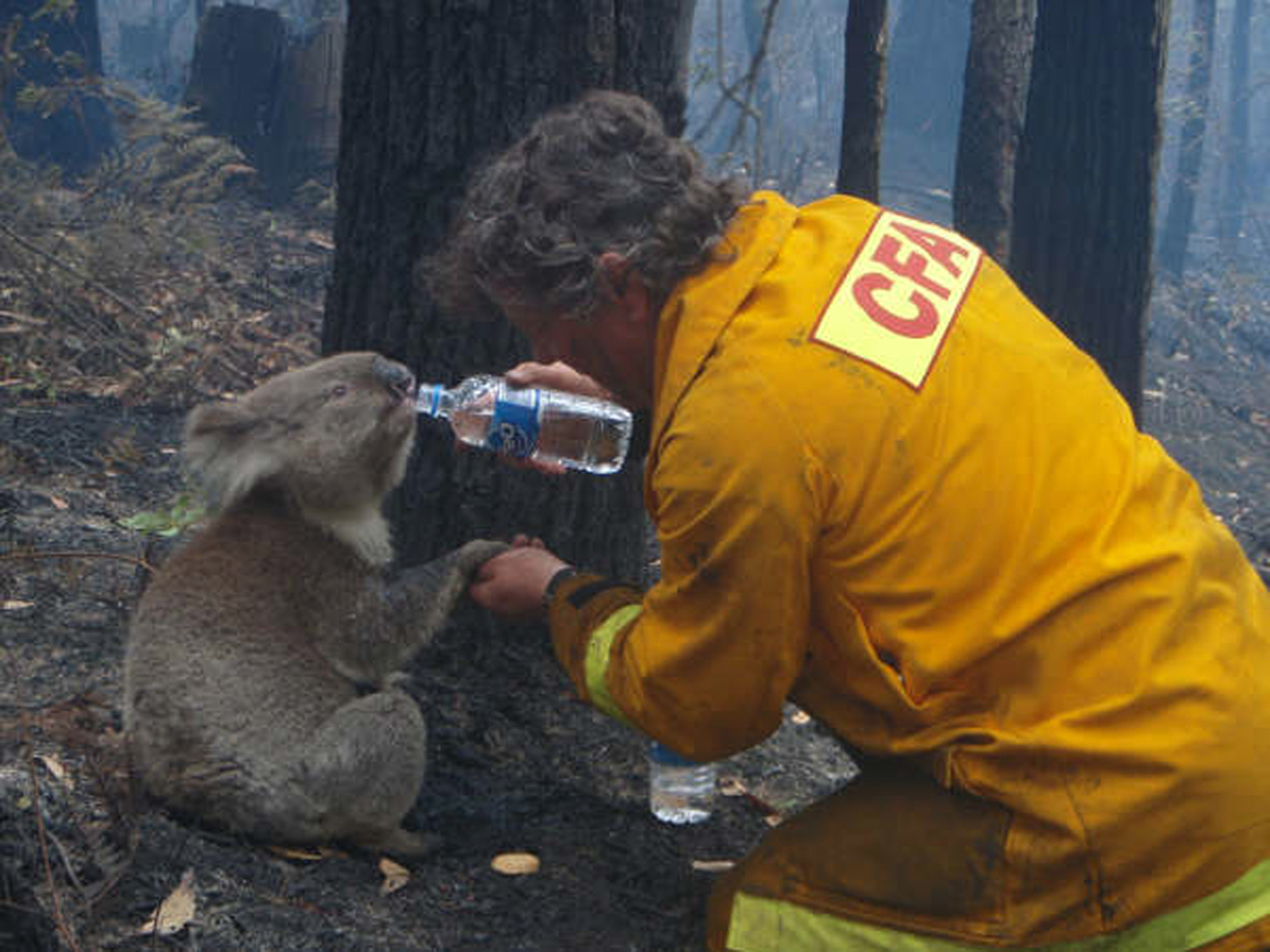 A koala named Sam is given a drink of water by Country Fire Authority volunteer fire fighter Dave Tree as he rescued her after deadly fires swept through the area of Mirboo North, about 120km (75 miles) southeast of Melbourne, February 8, 2009.