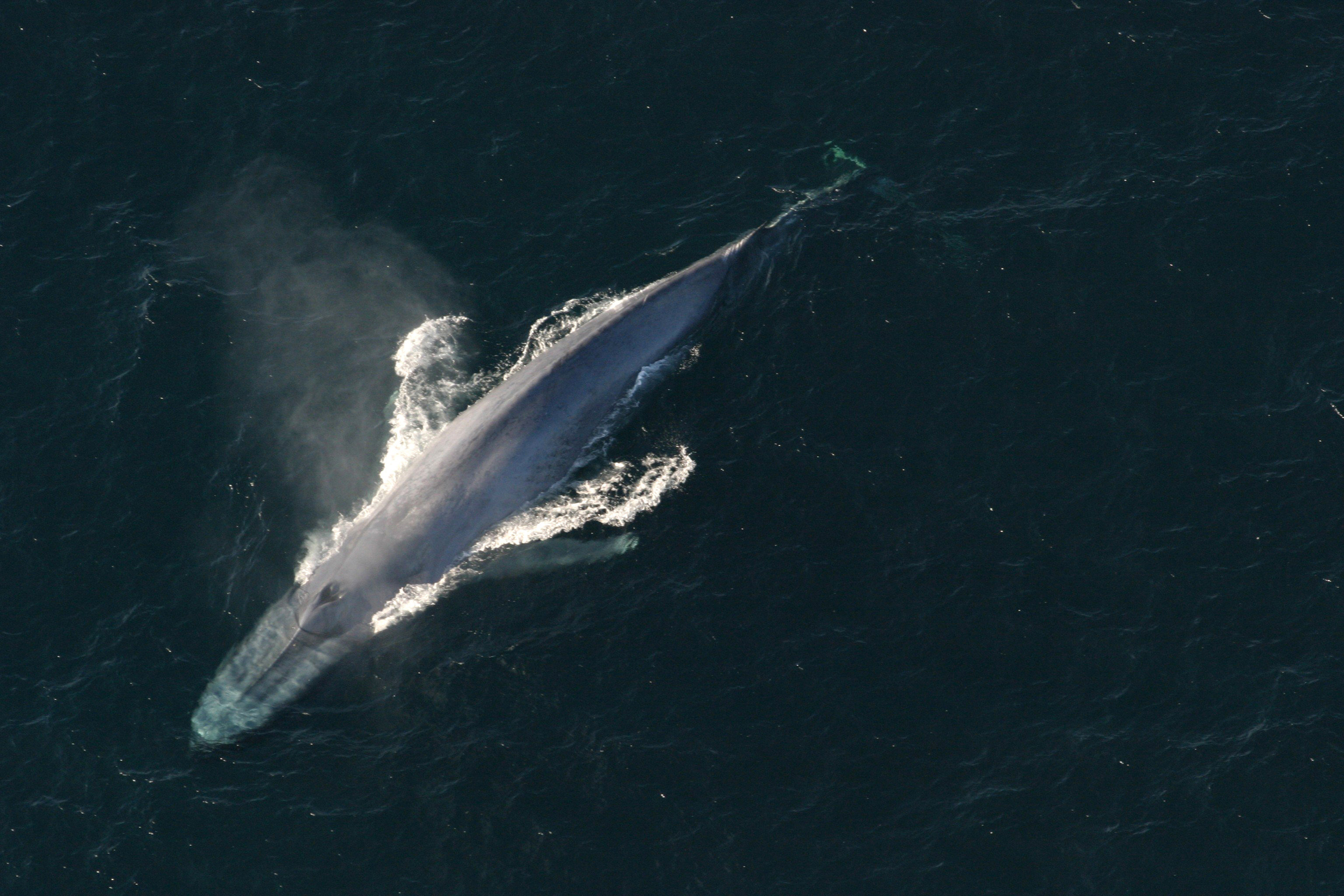 A blue whale surfaces to breathe in an undated picture from the U.S. National Oceanic and Atmospheric Administration (NOAA).    NOAA/Handout via Reuters  THIS IMAGE HAS BEEN SUPPLIED BY A THIRD PARTY. IT IS DISTRIBUTED, EXACTLY AS RECEIVED BY REUTERS, AS A SERVICE TO CLIENTS. FOR EDITORIAL USE ONLY. NOT FOR SALE FOR MARKETING OR ADVERTISING CAMPAIGNS - TM3EC6S15HH01