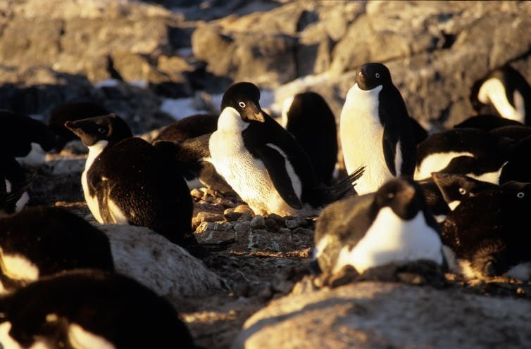 Adelie penguins need ice-free areas to access the ocean.
