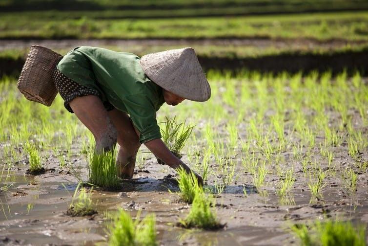 Au Vietnam, la culture du riz est particulièrement sensible aux variations de température, impactant les revenus des cultivateurs.