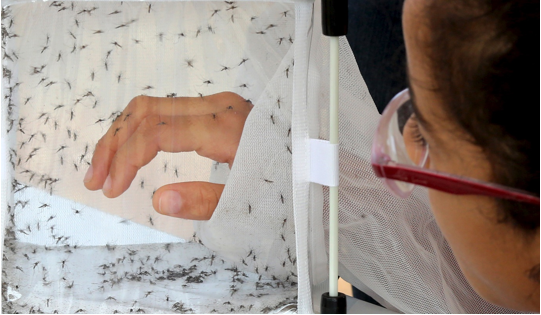Genetically modified mosquitoes created to help stop the spread of Dengue fever.