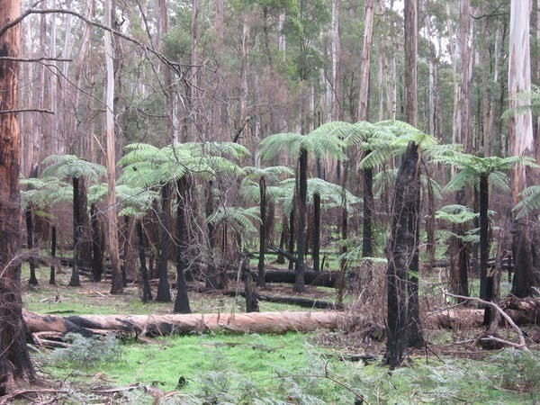 Los helechos son a menudo las primeras plantas que vuelven a crecer después de los incendios forestales.