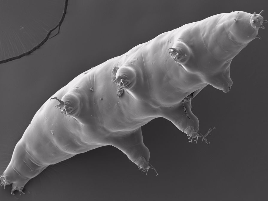 Tardigrade water bear microscopic image
