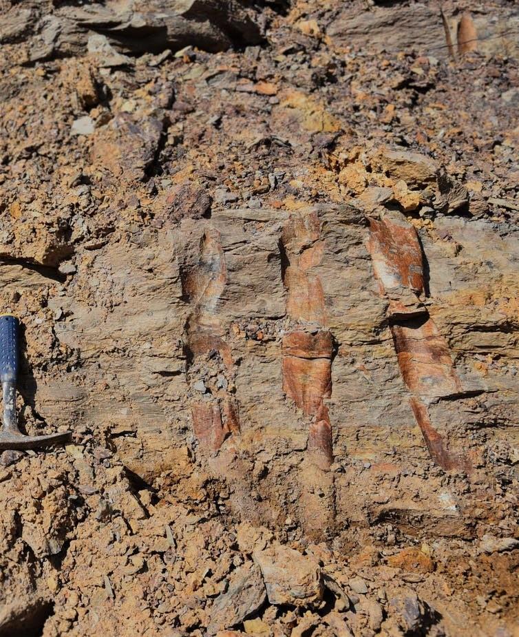 Fossilised guangdedendrons.