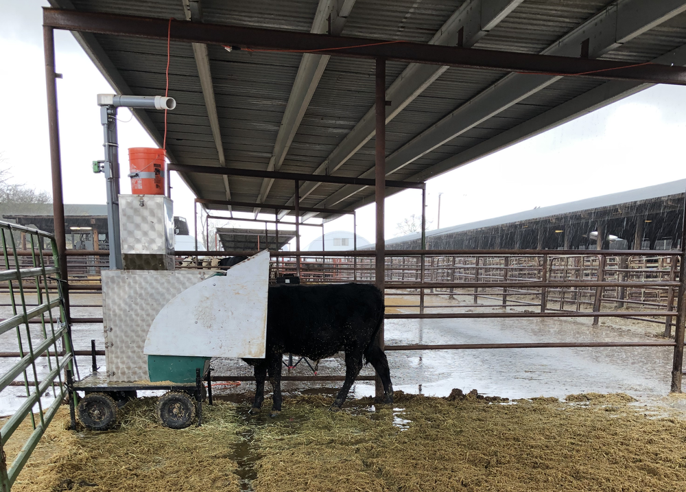 image of a steer eating alfalfa pellets as equipment measures his gas emissions