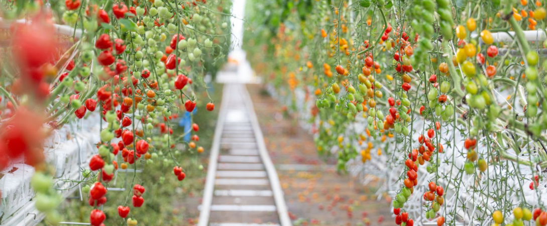 Lufa produces more than 11,000kg of food per week, including tomatoes and aubergines.