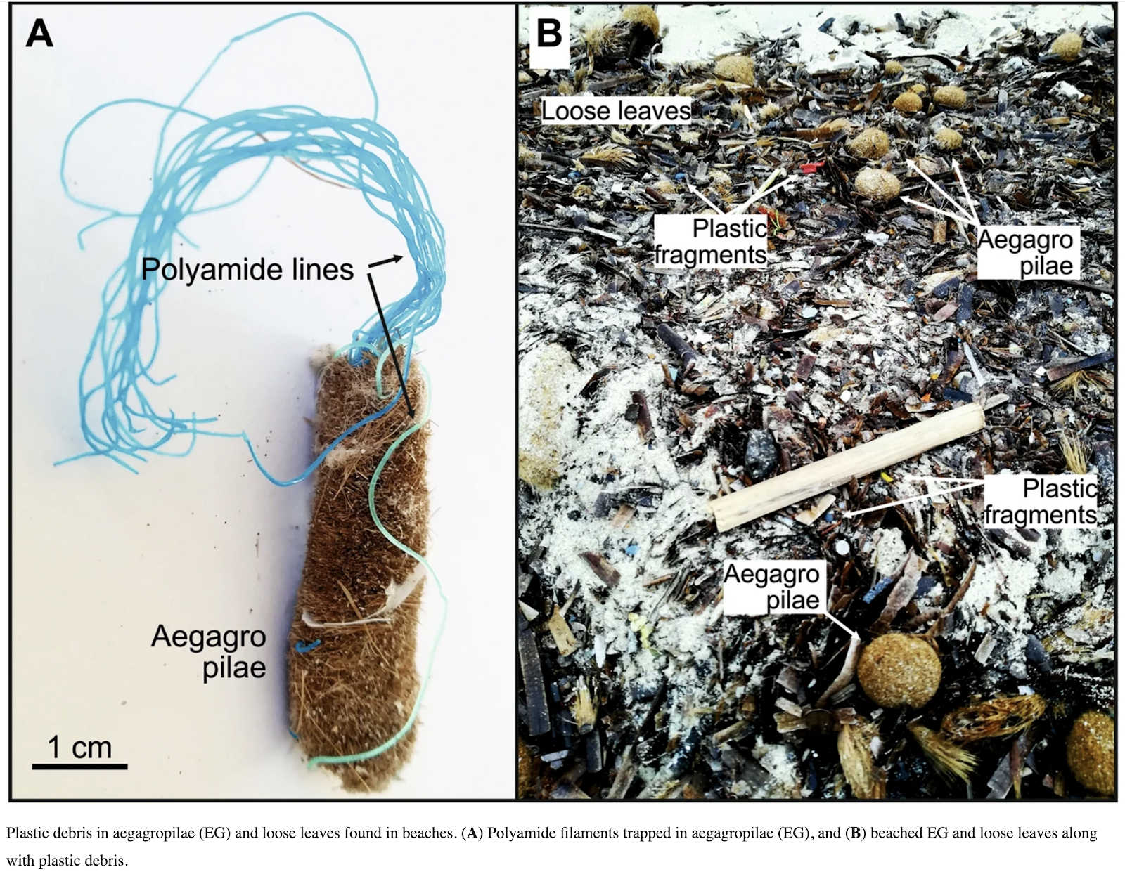 A diagram to show plastic debris in aegagropilae