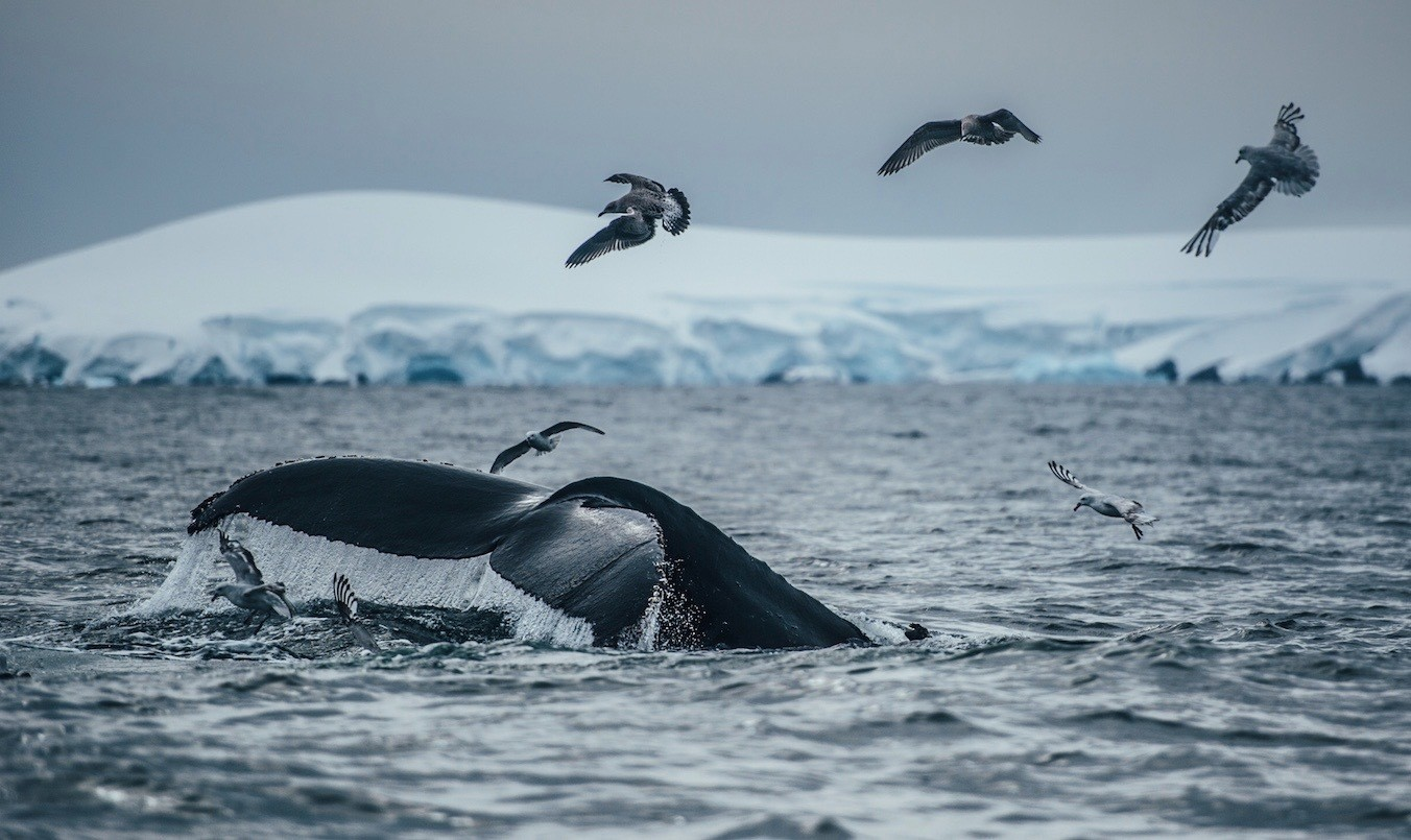 A humpback whale in the Ross Sea