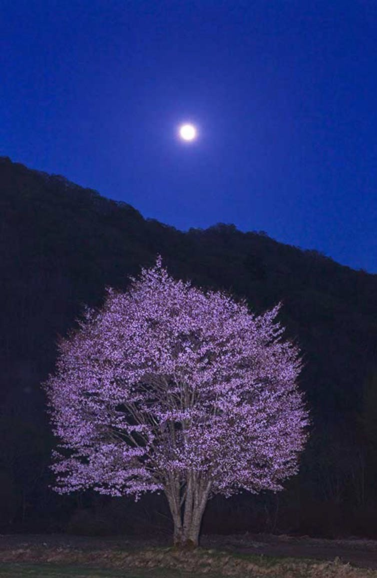 A photo selected for the NHK Fukushima cherry-tree competition.