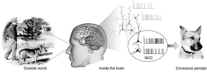 conciousness human brain