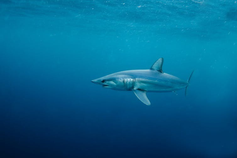 A shortfin mako shark glides near the ocean's surface.