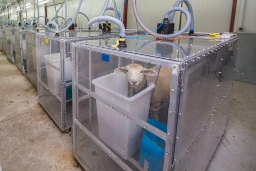 Pour mesurer les émissions des moutons et les sélectionner, les chercheurs les ont isolé dans ces « chambres à pet ».