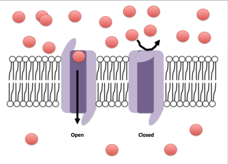 Channels in a cell's membrane act as gatekeepers, opening or closing to let molecules in or out in response to a particular stimulus.
