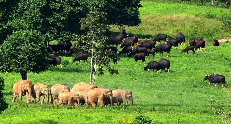 Elephants and Banteng graze in Kuri Buri National Park in Thailand, vestiges of a once-massive fauna that migrated annually across Indochina.