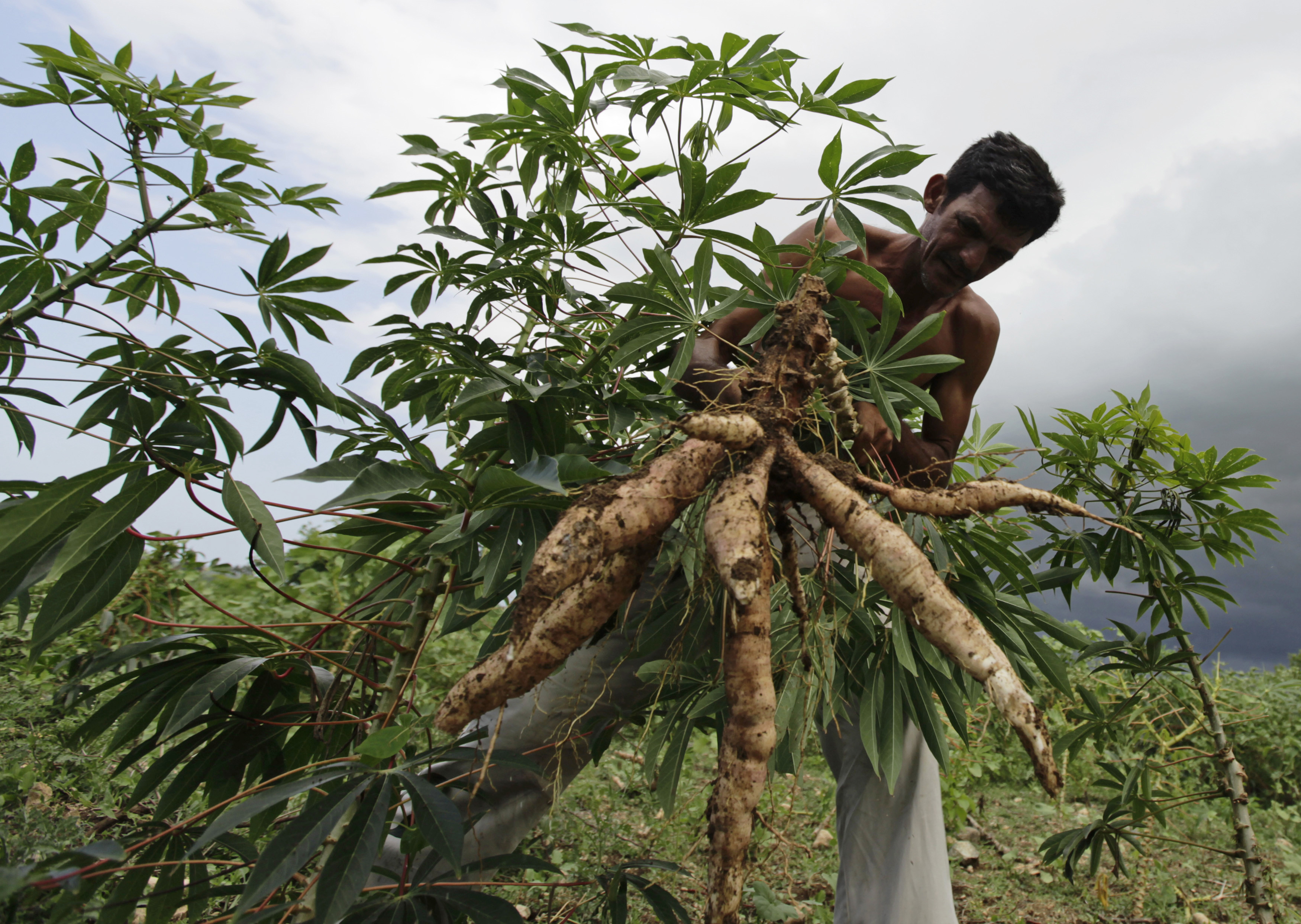 A farmer pulls out yuca roots from his field on the outskirts of Havana