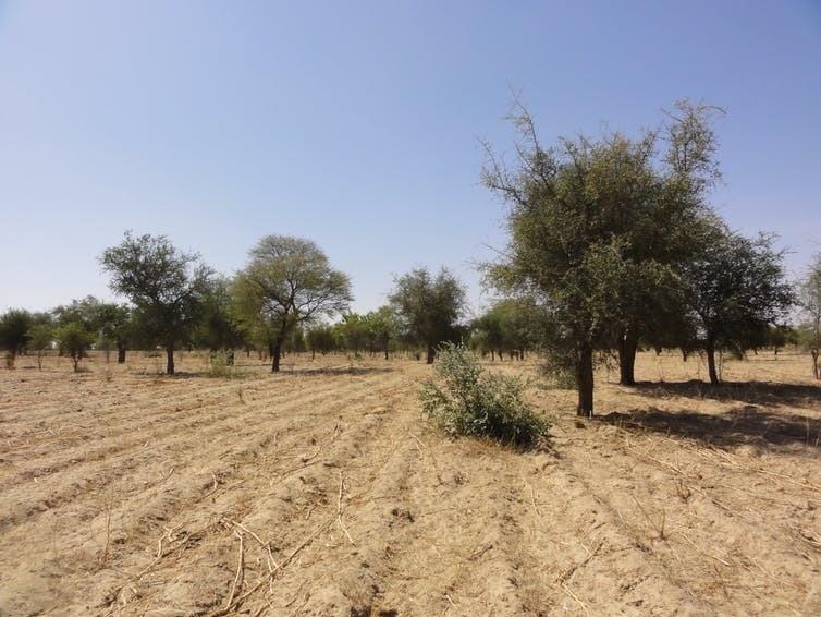 imagen de algunos árboles en África occidental