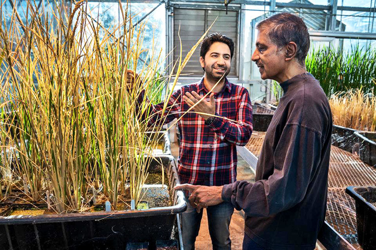 Imtiyaz Khanday and Venkatesan Sundaresan stand with the cloned rice plants in a greenhouse in December 2018.