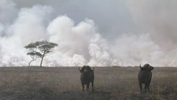 Deux buffles du Cap ont laissé ce feu de début de saison brûler autour d'eux dans le parc national du Serengeti.