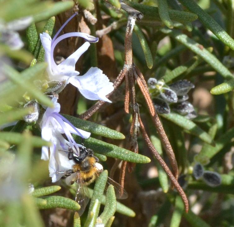 Une abeille sauvage, collectant du nectar dans une fleur de romarin.