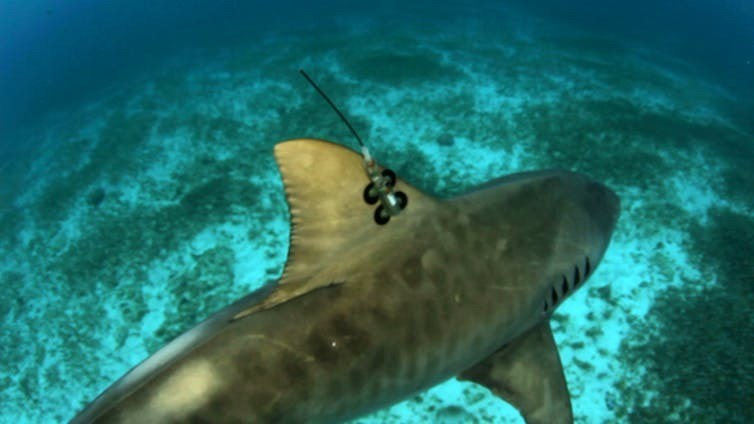 A tiger shark with a fin-mounted satellite transmitter.