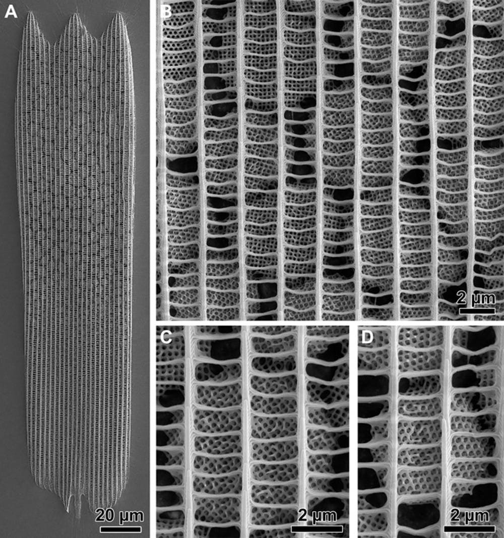 Complex slit architecture in the wings of the butterfly Thecla opisena.