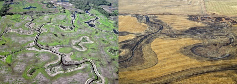 Native grasslands and wetlands have been drained across the Canadian Prairies. Loss of these habitats is ongoing, with an additional 3.6 hectares of wetlands drained every day.