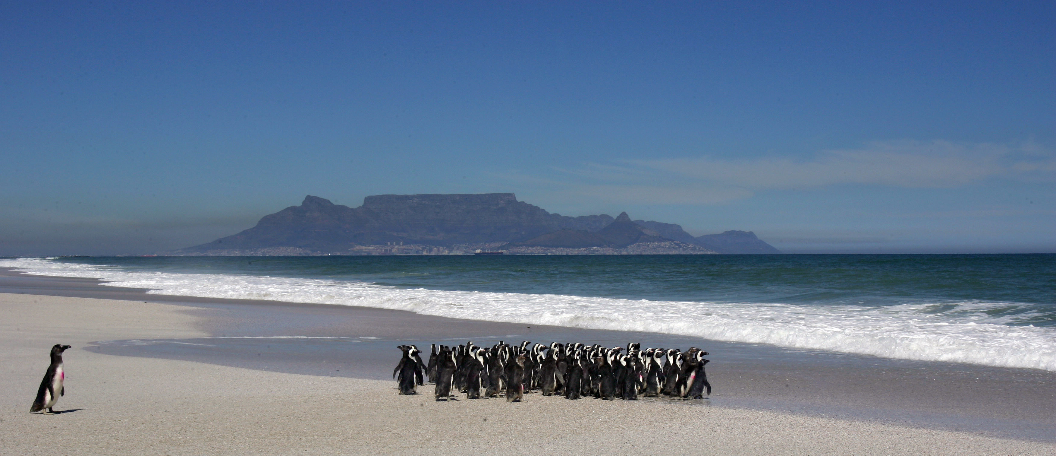 A group of about 100 African penguins are released into the sea near Cape Town September 16, 2005 after recovering at the SANCCOB (South African Foundation for the Conservation of Coastal Birds) rehabilitation centre. About 400 of these endangered birds were treated by volunteers at the centre after being affected by an oil slick. Conservation officials suspect the oil spill may have been the result of vessels illegally flushing bilges off the South African coast. Pictures of the Year 2005 REUTERS/Mike Hutchings  MH/JJ - RP6DRNAWEPAB