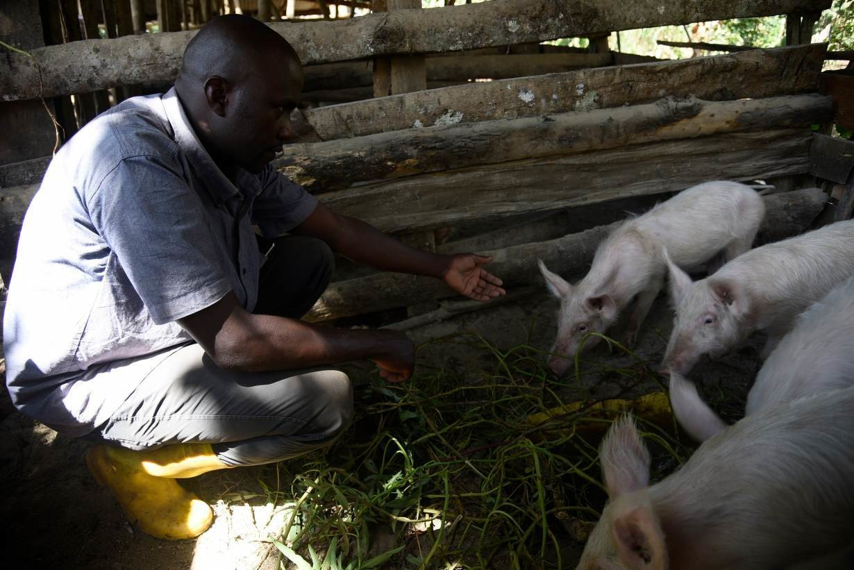 Peter Alisengawa, a beneficiary of the MUII farmer information service, feeds his pigs at his home in Iganga District, Uganda, on February 14, 2019.