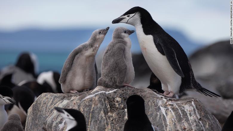 climate change antarctica penguins endangered wildlife