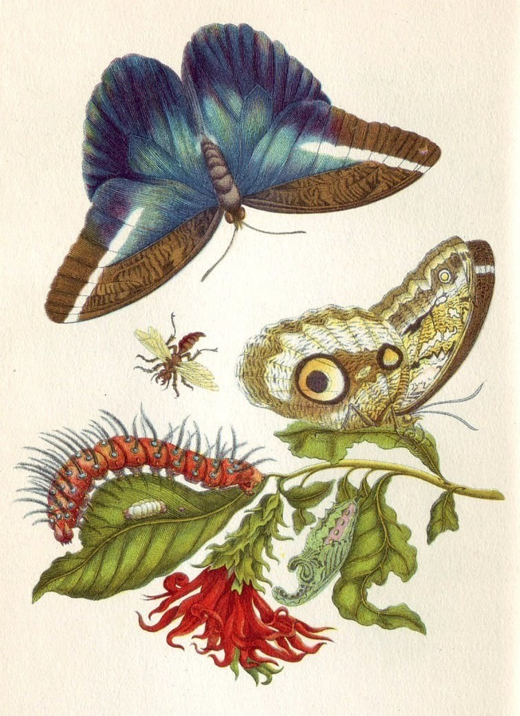 An image from Merian's book Metamorphosis insectorum Surinamensium.