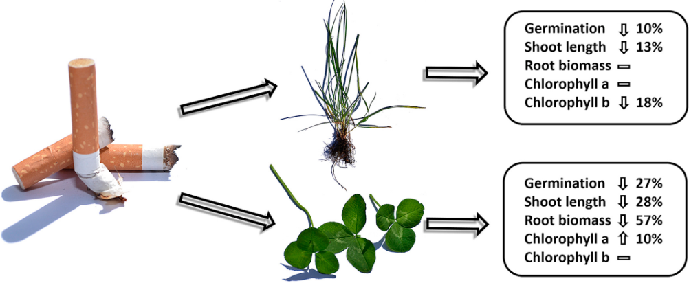 Impact on ryegrass and white clover when exposed to cigarette filters over 21 days.