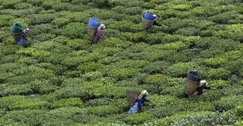 Tea garden labourers pluck tea leaves at the organic tea garden of Temi Tea Estate in India's Himalayan state of Sikkim October 10, 2009. India's tea export fell 14 percent in the first eight months of 2009 as low output after a severe drought hit production earlier this year, a senior Tea Board official said on Friday. REUTERS/Tim Chong (INDIA AGRICULTURE BUSINESS FOOD) - GM1E5AA1SL501