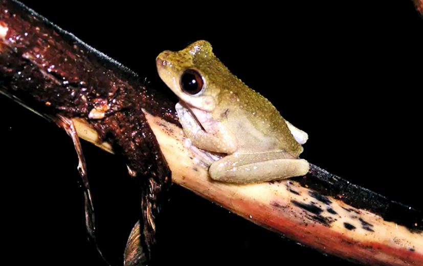 Queensland's Common Mistfrog populations have declined due to chytridiomycosis. (Credit: Lee Skerratt/U. Melbourne)
