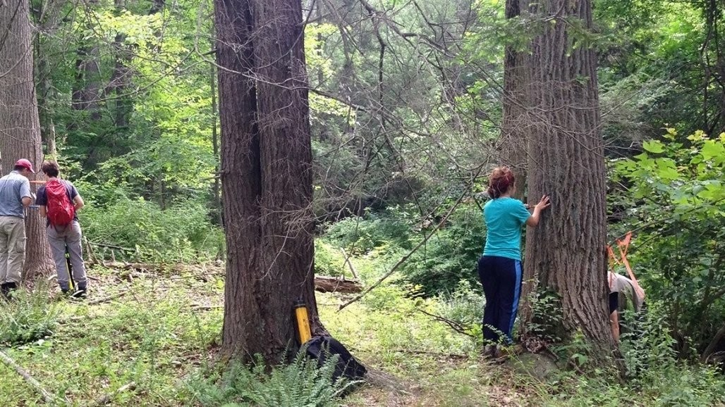 Scientists sampling tulip-poplar at the Black Rock Forest in southern NY.