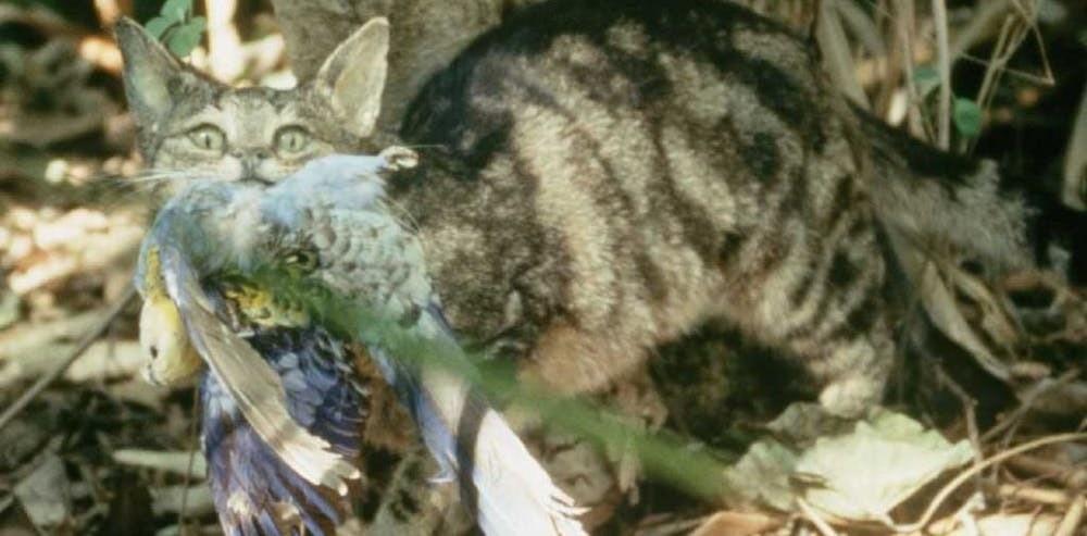 Chat sauvage en Australie.