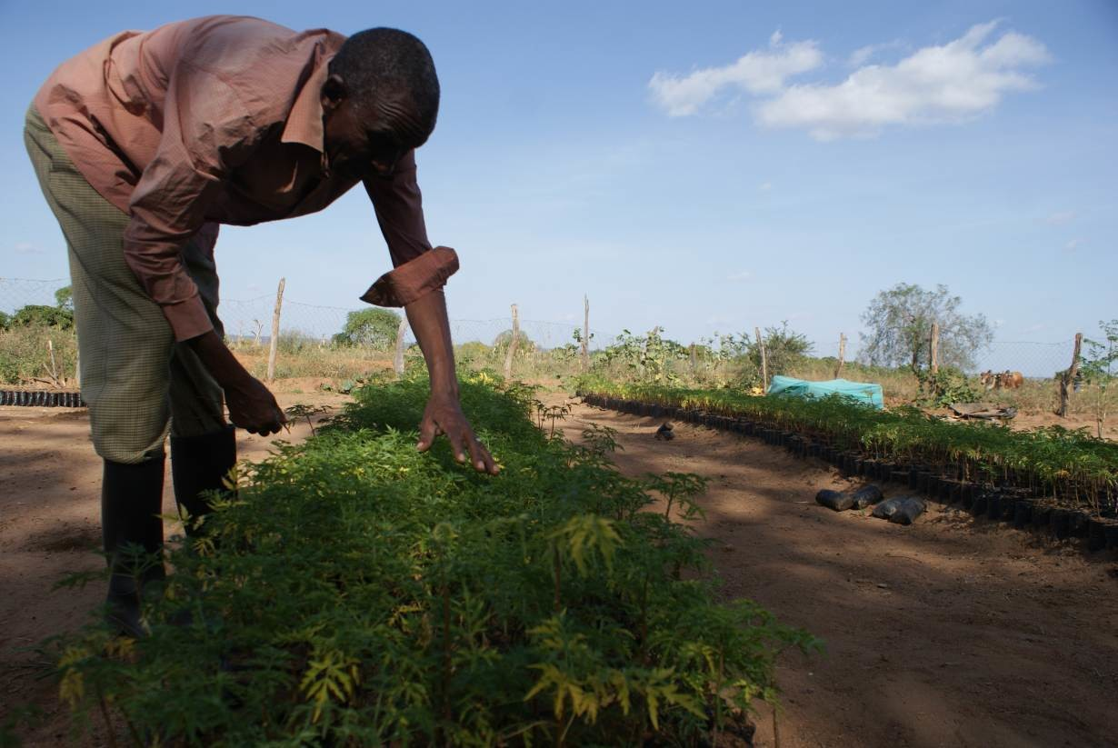 Farmer Jonathan Kituku Mung'ala demonstrates how to nurture Melia volkensii seedlings at his farm in Kibwezi, southern Kenya, on February 5, 2019.