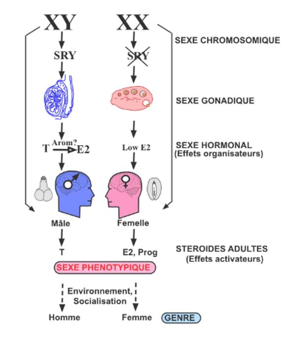 Les différentes étapes de la différenciation sexuelle dans l'espèce humaine. T = testostérone, E2 = œstradiol, Prog = progestérone, Arom = aromatisation.